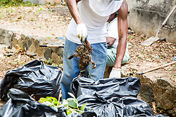 Kai Freet, disposes of a rotting bird carcass.  Residents and volunteers clean Savan Gut in  preparation for Tropical Storm Danny as a part of Savan CleanUp Day .  St. Thomas, USVI.  22 August 2015.  © Aisha-Zakiya Boyd
