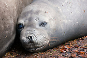 A young female southern elephant seal in the Falkland Islands
