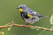 Yellow-rumped Warbler - Setophaga coronata (Audubon's) - Adult male breeding