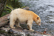 The Kermode bear, also known as the &quot;spirit bear&quot; or &quot;ghost bear&quot;, is subspecies of the American Black Bear living in the central coast of British Columbia, and noted for a small percentage of their population having white or cream-coloured coats. This colour variant is due to a unique recessive trait in their gene pool&mdash;they are neither albino nor related to polar bears.<br /> <br /> Because of their ghost-like appearance, &quot;spirit bears&quot; hold a prominent place in the American Indian mythology of the area.<br /> <br /> The kermodei subspecies ranges from Princess Royal Island to Prince Rupert Island on the coast, and inland toward Hazelton, British Columbia.