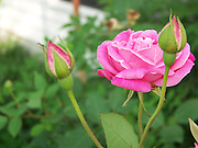 Beautiful Rose with Buds