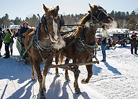 The horse team was fired up as they brought folks out onto Lake Winnipesaukee at Alton Bay during Winter Carnival festivities Sunday afternoon.  (Karen Bobotas/for the Laconia Daily Sun)