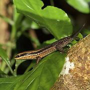 Eutropis macularia (Variable Sun Skink) sans tail.
