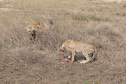 Spotted Hyenas stealing a gazelle from Cheetahs in East African habitat