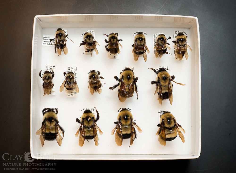 Preserved specimens of the Rusty Patched Bumble Bee (Bombus affinis), in Great Smoky Mountains National Park's invertebrate collection. A species that has declined 87% in the past 15 years due primarily to an introduced EurAsian pathogen.