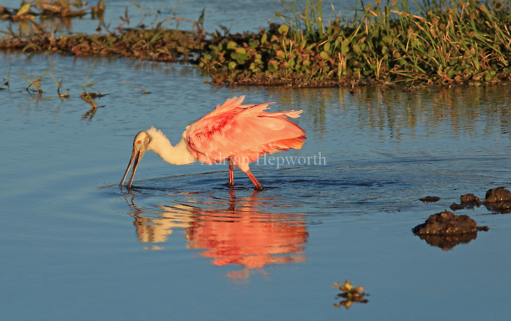 Roseate Spoonbill (Platalea ajaja) feeding in lagoon in Palo Verde National Park, Guanacaste, Costa Rica. <br />