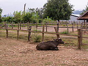 Image of a water buffalo at the Laos Buffalo Dairy, Ban Muang Khay, Luang Prabang, Laos.