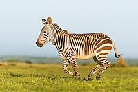 Cape Mountain Zebra Stallion running, De Hoop Nature Reserve, Western Cape, South Africa