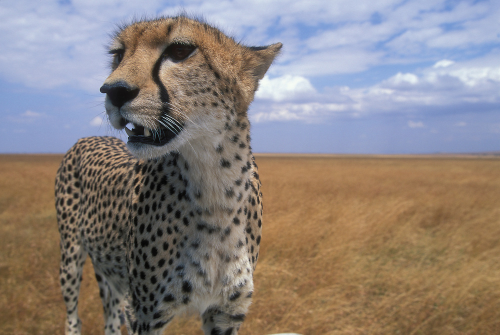 Africa, Kenya, Masai Mara Game Reserve, Adult Female Cheetah (Acinonyx jubatas) looks out at surrounding savanna