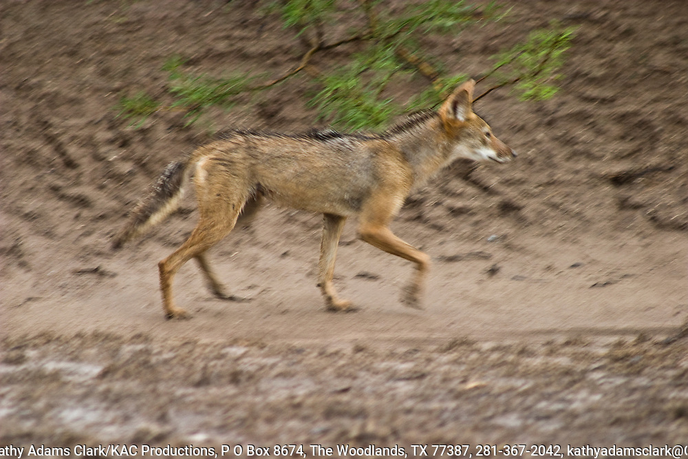 Coyote walking along a streambed, loping, summer Big Bend National Park, Texas.  Chihuahuan Desert.