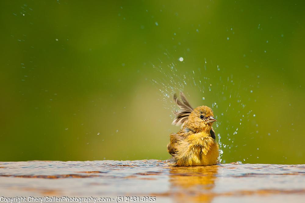 Female Lesser Goldfinch taking a bath