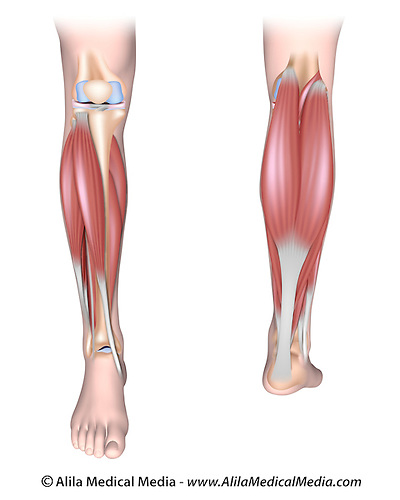 Human Leg Muscle Diagram Unlabeled - Block And Schematic Diagrams •