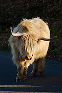 A highland cow that was roaming at Dartmoor