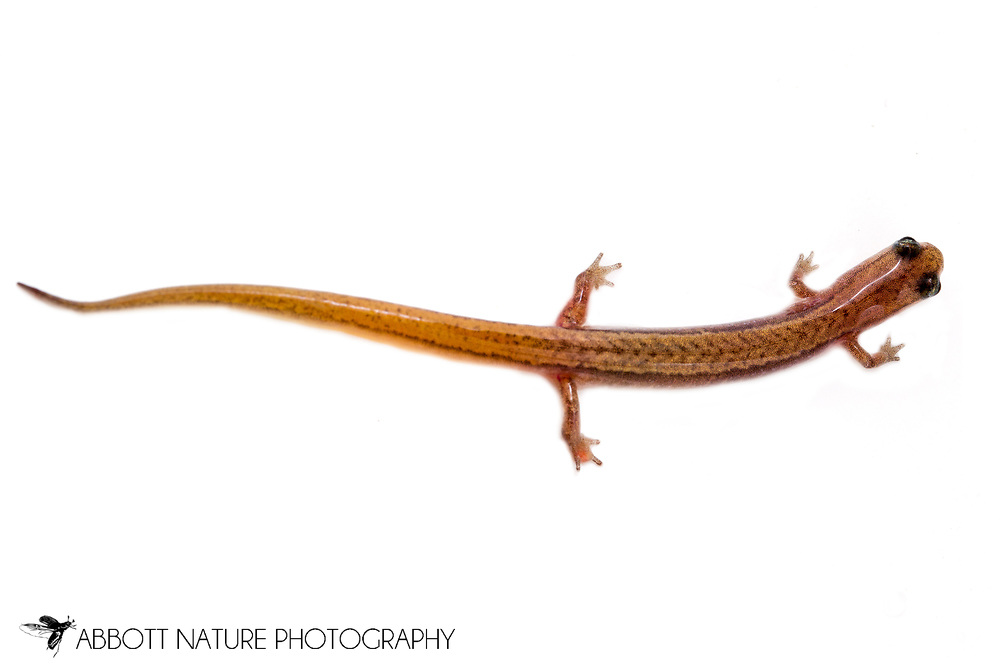 Dwarf Salamander (Eurycea quadridigitata)<br /> TEXAS: Jasper Co.<br /> pitcher plant bog and stream in Angelina National Forest<br /> Jasper, 18 mi NW<br /> 19-Mar-2015<br /> J.C. Abbott #2696 &amp; K.K. Abbott