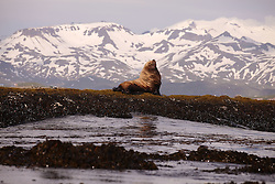 USA ALASKA DUTCH HARBOR 4JUL12 - A Steller sea lion rests near Dutch Harbor in Unalaska Island, Alaska, USA.<br /> <br /> <br /> <br /> Photo by Jiri Rezac / Greenpeace<br />