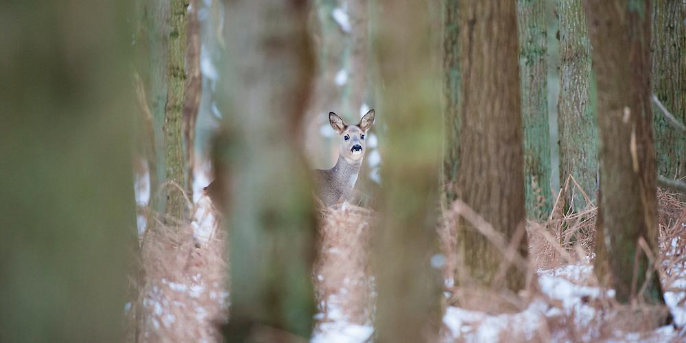 Roe Deer (Capreolus capreolus) lurking between the trees in the snow covered Amsterdamse waterleidingduinen, The Netherlands.