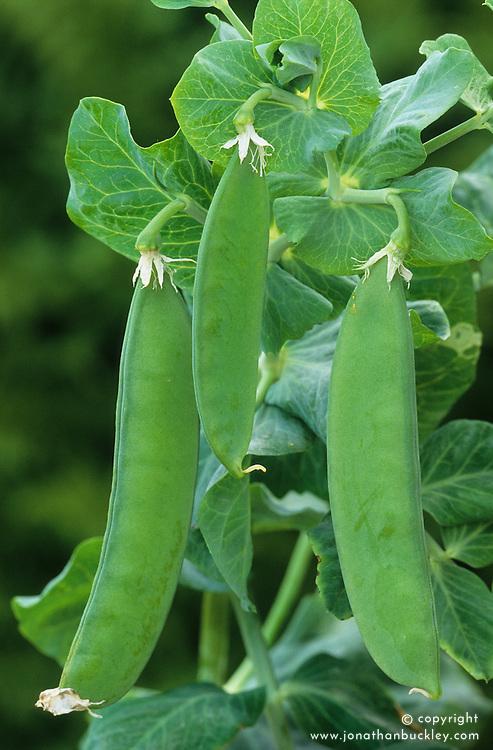 Mangetout Sugar Snap - - Pisum sativum