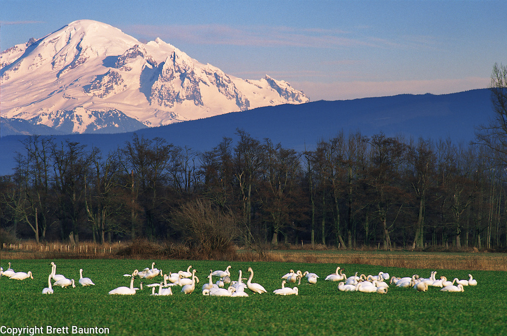 Mt. Baker, from Whatcom County near Ferndale, WA, Snow geese, Winter