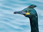 It feeds in the sea, and, unlike the Great Cormorant, is rare inland. It will winter along any coast that is well-supplied with fish. It is smaller than the Great Cormorant.