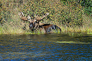 Wildlife photographs of Moose (Alces alces) from Denali National Park of The Alaska Range, AK