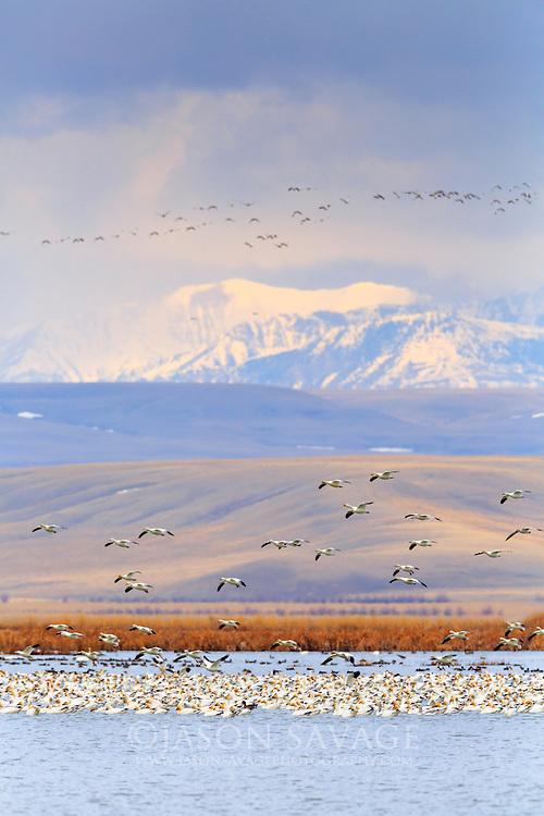 Snow Geese over Freezeout Lake, Montana