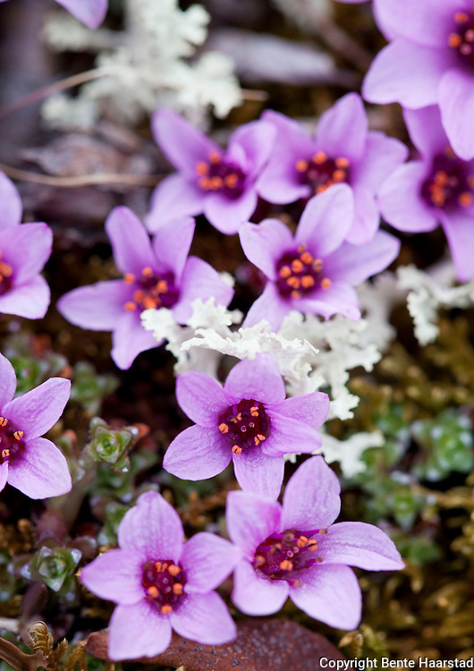 rødsildre, Saxifraga oppositifolia, the purple saxifrage or purple mountain saxifrage. Dovrefjell.