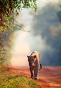 Leopard Approaching. Yala National Park