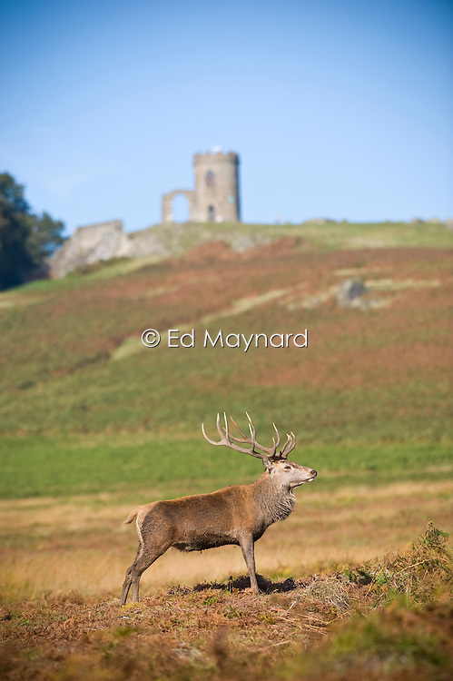 Red deer stag with the folly Old John Tower, Bradgate Country Park, Leicestershire, England, UK.