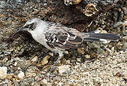 The Galápagos Mockingbird (Nesomimus parvulus, a bird in the Mimidae family) is seen on Isla Genovesa (or Tower Island), Ecuador, South America. The Galápagos Mockingbird is endemic to the Galápagos Islands. It is omnivorous and preys on small lava lizards, insects, centipedes, carrion, seabird eggs, and young finches. The Galápagos Mockingbird probably evolved from the Ecuadorian Long-tailed Mockingbird.