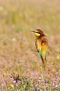 EN.- Bee-eater (Merops apiaster).  Andalucia, Spain..ES.- Abejaruco europeo (Merops apiaster). Andalucía, España.