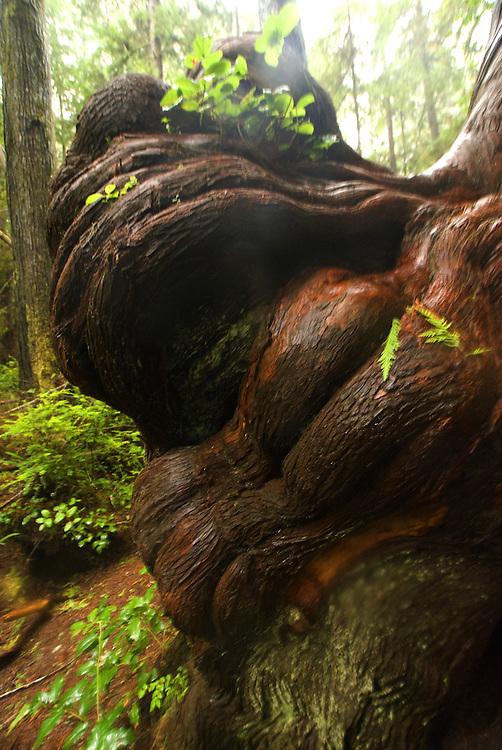 Knobby Cedar Burls in Big Cedar Tree Woods, Olympic National Park, Washington, US