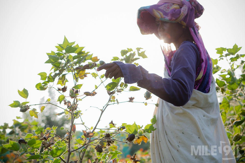 A lady picking cotton at Vasudha Organic Solution Centre in Jamniya, Madhya Pradesh, India.