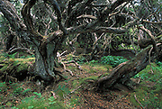 Southern Rata Forest<br /> Enderby Island<br /> SUB-ANTARCTIC ISLAND, NEW ZEALAND