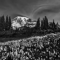 7:42 AM Mount Rainier from Mazama Ridge monochrome