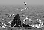 New England Humpback Whales, Stellwagen Bank, Massachusetts, 4 July 2006
