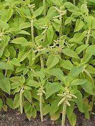 Calaloo plants at Meadows Community Gardens, Nottingham, England