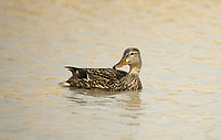 A Hen Mallard swims always alert watching for danger.