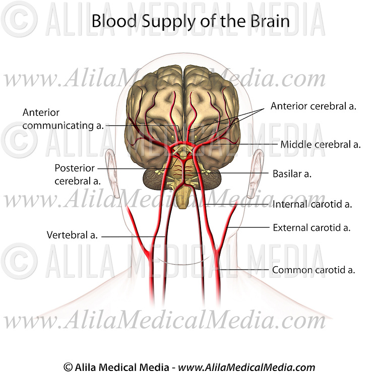 Blood supply to the brain, anterior view labeled. | Alila Medical Images