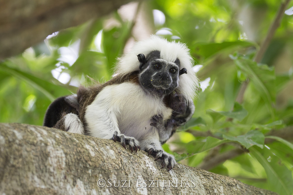 Cotton-topped Tamarin<br /> Saguinus oedipus<br /> Adult and two-week-old baby<br /> Northern Colombia, South America