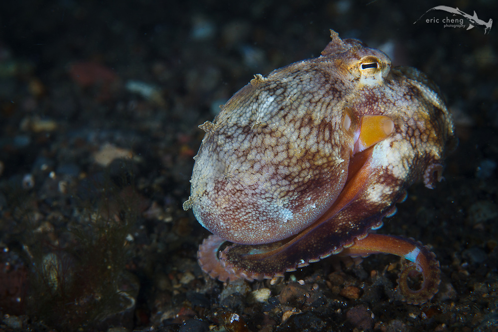 A coconut octopus (Amphioctopus marginatus). Hot Property, Beangabang, Pantar, Indonesia.