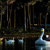 ORLANDO, FL -- January 30, 2008 -- A couple in a paddle boat shaped like a swan glides across Lake Eola near Thornton Park in Orlando, Fla.,  on Saturday, January 30, 2006.  The popular park was developed during the citrus industry boom in the 19th century and offers a tranquil haven set against the city's downtown to paddle around the floating fountain or jog the lake's perimeter.
