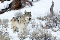Wild wolf in Yellowstone National Park, Wyoming, USA