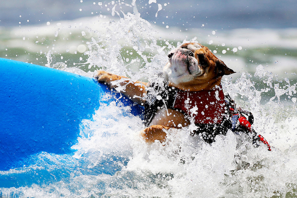 Dogs and their owners compete in the 6th annual Loews Coronado Bay Resort Surf Dog Competition where dogs from all over the country come to compete to be top dog on Imperial Beach on Saturday, June 4, 2011. Each dog was given 10 minutes to catch their top two waves to be scored for points. Forty-Five dogs competed in three categories: Small Dogs (under 60 pounds), Large Dogs (over 60 pounds), and Tandem (combination of dogs and/or humans).