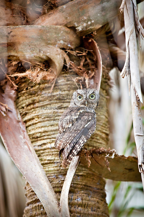 A juvenile Great Horned Owl on a palm tree Charleston, SC