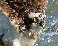 Nictating membrane blinks over eye of osprey as it flies up from pond after catching a fish. © 2015 David A. Ponton