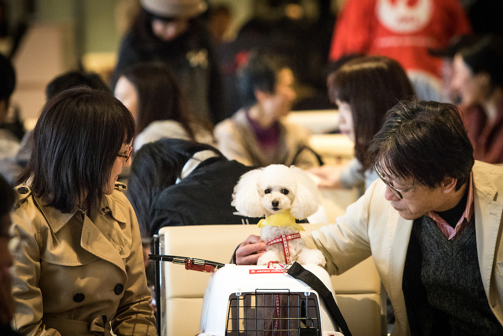 """CHIBA, JAPAN - JANUARY 27 : People with their dogs wait for flight at the airport in Chiba, Japan on January 27, 2017. Japan Airlines """"wan wan jet tour"""" allows owners and their dogs to travel together on a charter flight for a special three-day domestic tour to Kagoshima Prefecture, southwestern Japan. As part of the package tour, the owners and their dogs will also get to stay together in a hotel and go sightseeing in rented cars. (Photo by Richard Atrero de Guzman/ANADOLU Agency)"""