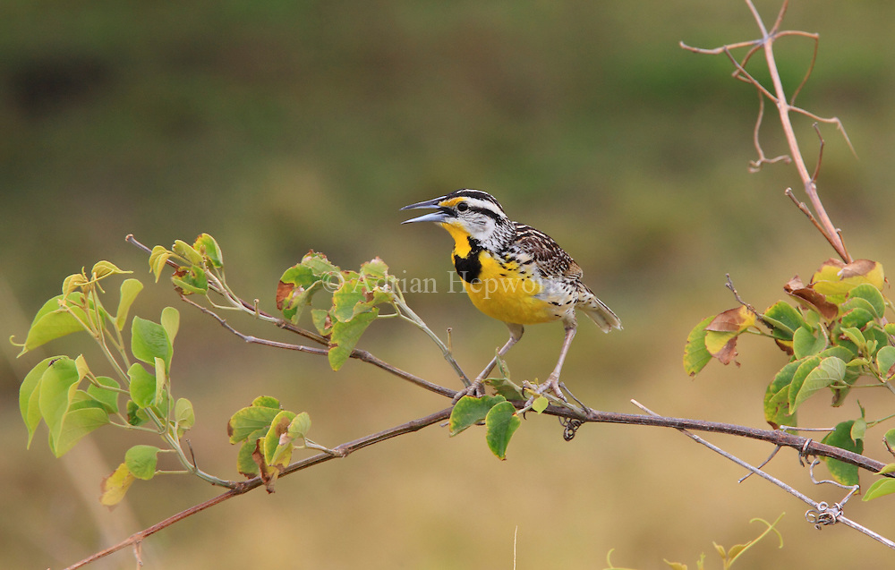 Eastern Meadowlark (Sturnella magna) singing. Rincon de la Vieja National Park, Guanacaste, Costa Rica. <br />