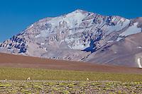GUANACOS (Lama guanicoe) PASTANDO, RESERVA NATURAL LAGUNA DEL DIAMANTE, PROVINCIA DE MENDOZA, ARGENTINA