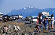 Alaska. Anchorage. Tourists stop along the Seward Highway to view the Dall Sheep (Ovis dalli).