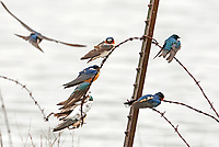 A small colony of Barn Swallows rests on an old broken fence in northern Utah.